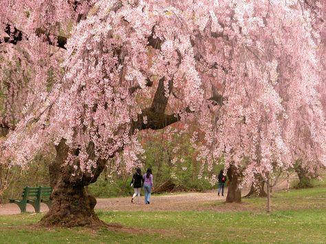 A Spring Hope Haiku Cherry Blossom Festival Cherry Blossom Tree Cherry Tree