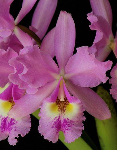 Cattleya Warszewiczii Orchid Flower Unusual Flowers Beautiful Orchids