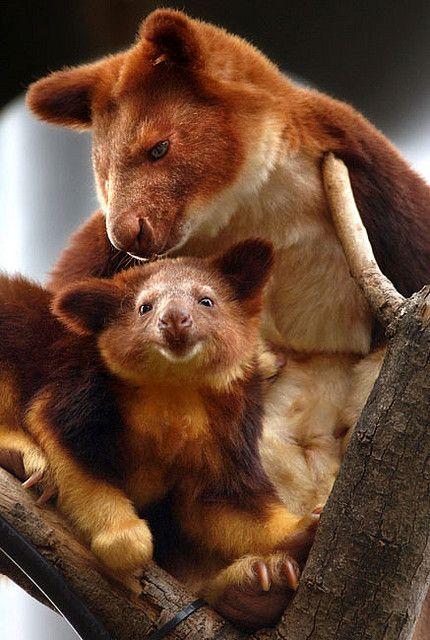 tree kangaroo and baby. hmm never seen a tree kangaroo before