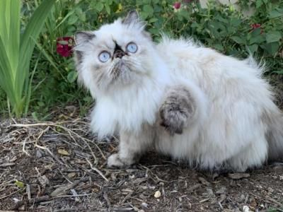 Victorian Gardens Cattery Himalayan Cat Cat Breeds Persian Kittens For Sale