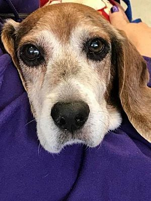 Pictures Of Winslow Adopt A Beagle For Adoption In Fairfax Va Who Needs A Loving Home Dog Images Hd Hd Dog Photos Beagle Puppy