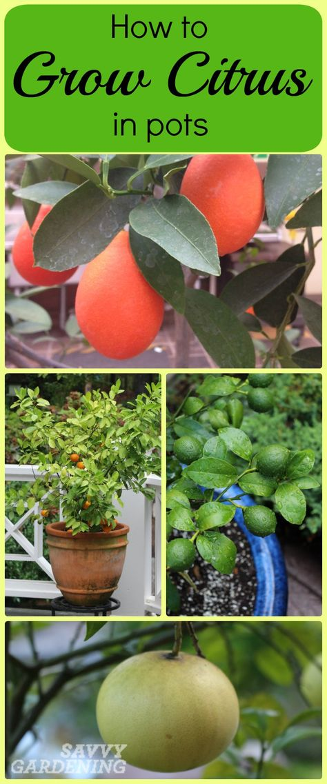 These 8 steps for growing citrus in pots are surprisingly easy.