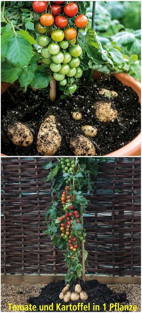 Pin Auf Tomaten Pflanzen