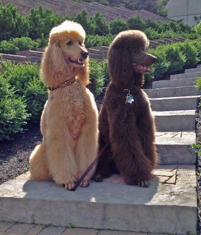 Standard Poodles Brady And Barnaby Bijou Poodles Cute Dogs
