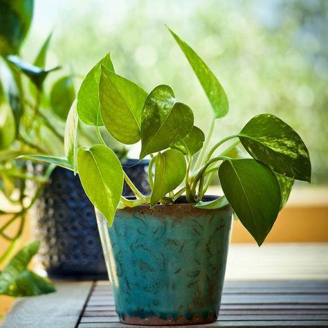 Piante Da Appartamento Di Facile Coltivazione.Il Potos E Una Pianta Ornamentale Molto Comune Nelle Nostre Case