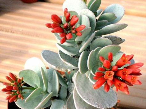 Kalanchoe Scapigera Love The Deep Orange Flowers With Grey