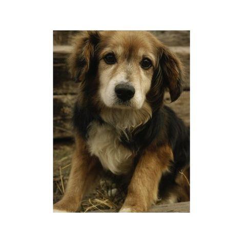 Golden Retriever Beagle Mix Oh My Cuteness Golden Retriever