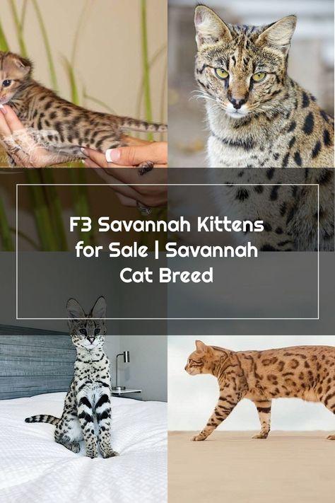 F3 Savannah Kittens For Sale Savannah Cat Breed In 2020
