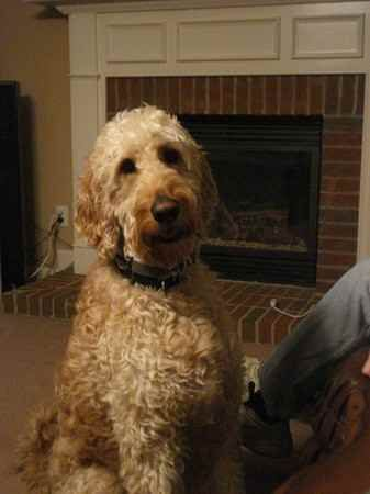 Irish Doodle Irish Setter Poodle Mix Facts Temperament