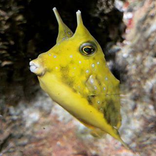 The Longhorn Cowfish Loves The Camera Cowfish Horniman Longhorncowfish Yellow Aquarium Hornimanaquarium Underwater Cow Fish Longhorn Fish Pet