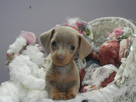 Dachshund Friendly And Curious Dachshund Puppies Baby