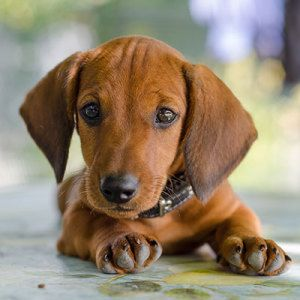 Browse The Widest Most Trusted Source Of Dachshund Puppies For