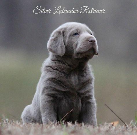 Silver Labrador Retrievers For Sale Silver Lab Puppies Charcoal Labs Silver Lab Puppies Silver Labs N Stuff Tennessee Heathridge Labrador Retriever