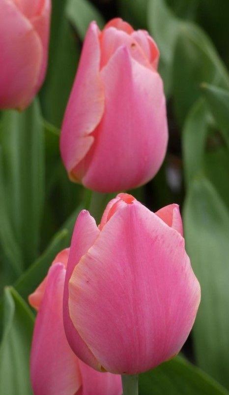 Tulip Salmon Pearl Tulip Flower Pictures Unusual Flowers Flower Photos