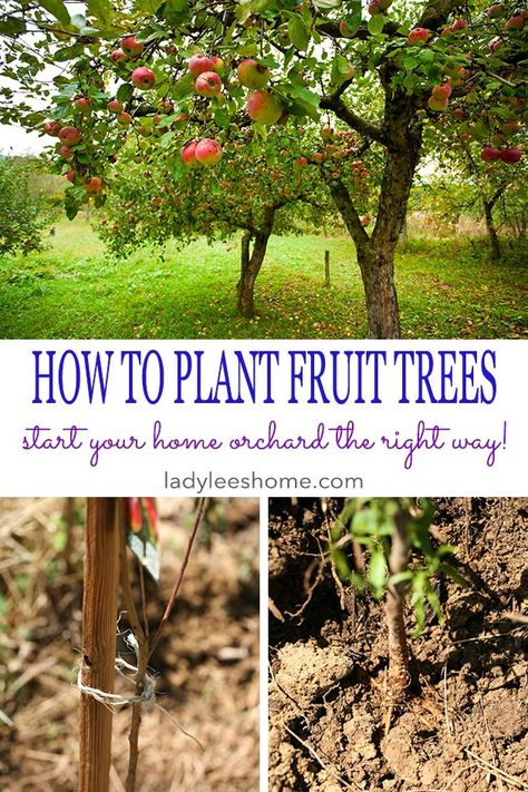 to Plant Bare Root Fruit Trees How to Plant Fruit Trees. Come join me for a step-by-step picture tutorial as I plant my new peach tree. When to plant fruit trees, where to plant fruit trees, and how to plant fruit trees.How to Plant Fruit Trees. Come join Planting Fruit Trees, Fruit Tree Garden, Growing Fruit Trees, Fruit Plants, Garden Trees, Growing Plants, Growing Vegetables, Trees To Plant, Planting Vegetables