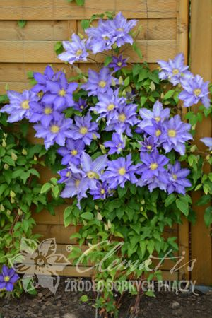 Clematis Anna German Clematis Lilac Flowers Flowers
