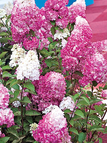 This Sensational Flowering Shrub Produces Dense White Flower Clusters That Measure 8 9 Tall On Sturdy Stems The Showy Cluster Flowering Shrubs Shrubs Flowers