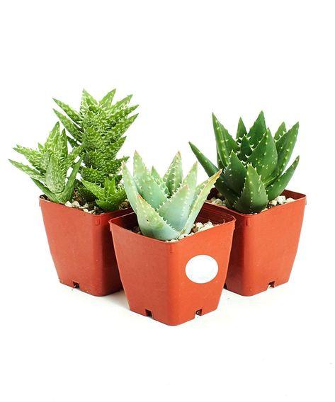 Hirts: 3-HRD-KIL 3 FolieraAloeThree Aloe Plants