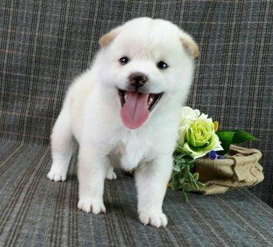 Shiba Inu Puppy For Sale In Seattle Wa Usa Adn 98046 On Puppyfinder Com Gender Female Age 5 Weeks Old Shiba Inu Puppy Super Cute Puppies Puppies For Sale