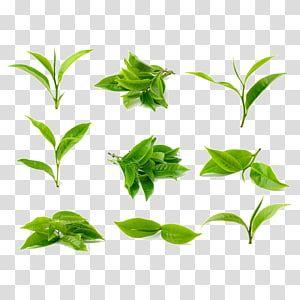 Green Tea Tea Processing Tea Leaves Green Leafed Plants Collage Transparent Background Png Clipart Watercolor Leaves Leaves Illustration Autumn Leaf Color