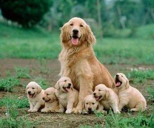 Golden Retriever Family Retriever Puppy Pets Dogs