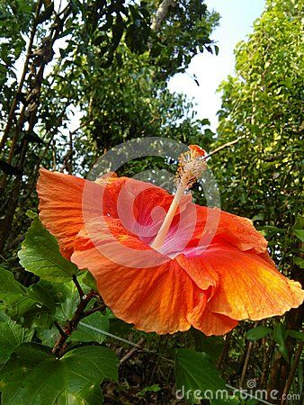 Nice Color Flower Look Very Big Petal This Flower Hibiscus Flowers Photo Stock Images Flowers