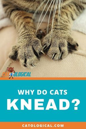 Why Do Cats Knead Their Human Owners Pillows Blankets Everything Cats Knead Siamese Cats Facts Cat Care