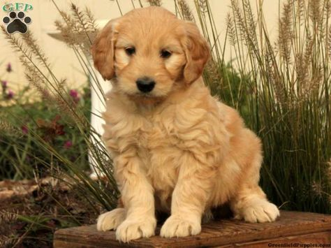 Fawn Mini Goldendoodle Puppy For Sale From Christiana Pa