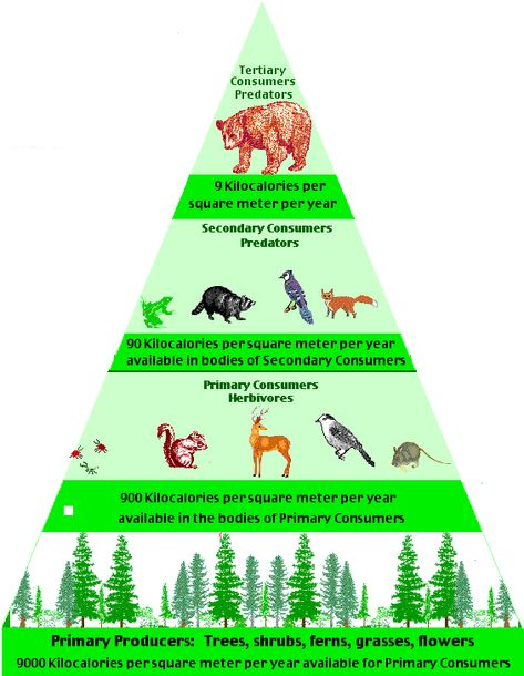 Food Web Amazon Rainforest Animals Food Pyramid In The Temperate