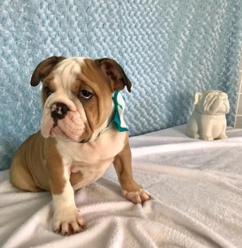 Bulldog Puppy For Sale In Cranston Ri Adn 66378 On Puppyfinder