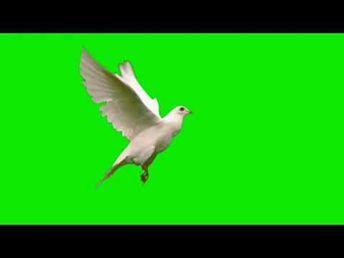 Burung Merpati Green Screen Effects Birds Flying Green Screen Effects Youtube In 2021 Greenscreen Birds Flying Chroma Key