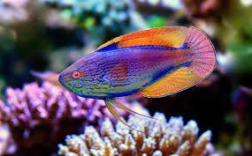 Purple Line Fairy Wrasse Cirrhilabrus Lineatus Google Search Wrasse Fish Pet Purple Line