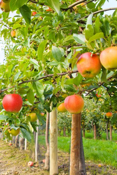 How To Plant Fruit Trees And Why Fall Is The Best Time To Plant Planting Apple Trees Fruit Trees Fruit Trees Backyard