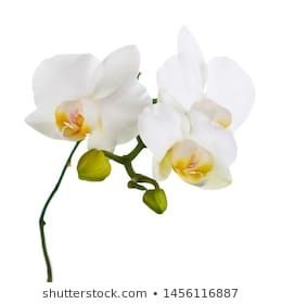 Similar Images Stock Photos Vectors Of White Orchid Isolated On White Background 426326476 Shutterstock In 2020 White Orchids White Background Orchids