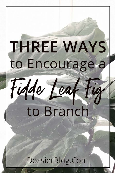 Three Ways to Encourage a Fiddle Leaf Fig to Branch: Pruning, Notching  Pinching | Dossier Blog