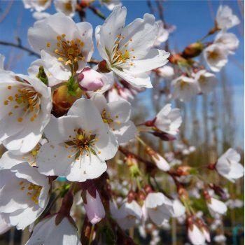 Prunus X Yedoensis Shidare Yoshino Tree Flowering Cherry Tree Prunus X Yedoensis Weeping Cherry Tree