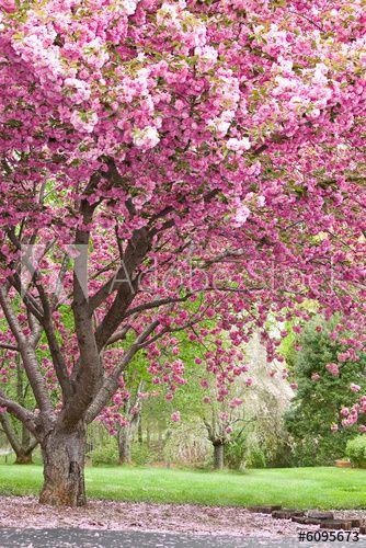 Pink Flowering Cherry Trees In 2021 Flowering Cherry Tree Flowering Trees Blossom Trees