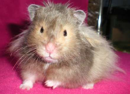 Long Haired Hamster Colors 27