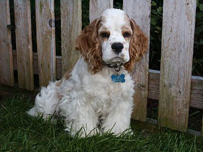 Photo Of Red And White Parti Colored Cocker Spaniel Cocker Spaniel Clumber Spaniel Spaniel Dog