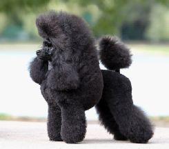 Svk Etusivu Poodle Dogs Gorilla
