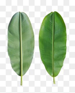 Banana Leaves Are On The Back Banana Clipart In Kind Fresh Png Transparent Image And Clipart For Free Download Banana Leaf Leaf Drawing Leaf Clipart