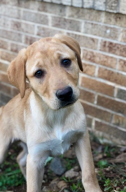 Breed Labrador Retriever Gender Male Registry Akc Personality Bouncy Date Available Available Today Labrador Retriever Puppies Labrador Retriever Puppies