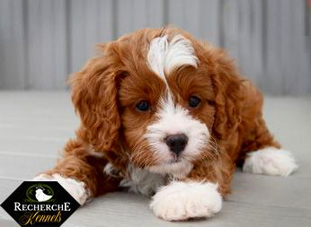Cavapoo Ginger And White With Images Cavapoo Puppies