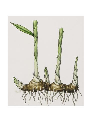 !!NEW!1 black bulb Curcuma amarissima Roscoe ZINGIBERACEAE rareThailand