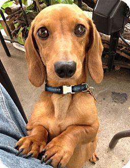 Minneapolis Mn Dachshund Mix Meet Trumpet A Dog For Adoption