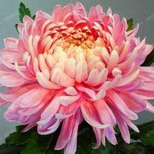 Buy 200 Pcs Chinese Mum Seeds Chrysanthemum Free Shipping Chrysanthemum Flower Pretty Flowers Flowers