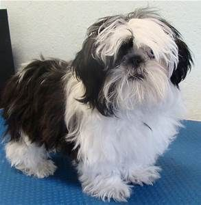 Shih Tzu Haircut Styles Pictures Hairs Picture Gallery Shih Tzu Dog Grooming Cute Puppies