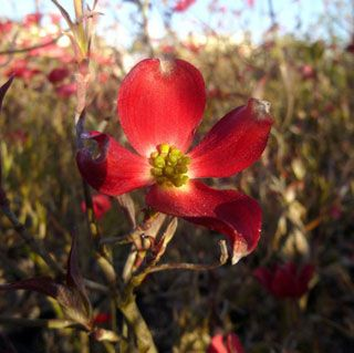 The first genetically dwarf red-flowered Dogwood, this ruddy darling is perfect for containers or tight garden spaces, and it will never