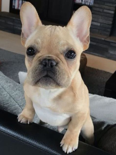 Trevor Le Woof Trevorlewoof Twitter French Bulldog Puppies
