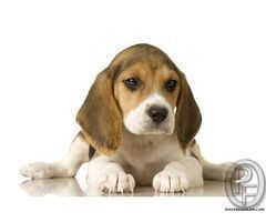 Beagle Puppies Are Available For Sale In Mumbai Maharashtra